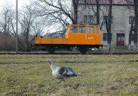 Wmc-009 and turkey in Biała Rawska